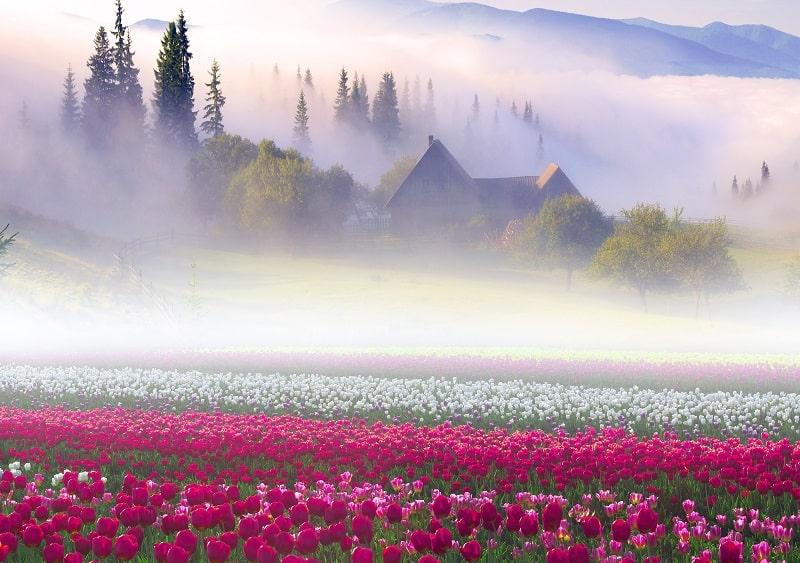 поле тюльпанов в тумане утром
